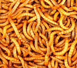 Live Mealworms 100 to 2000 - Free Bedding and Food for 5 wee